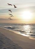 La multitud de pelícanos vuela abajo de la playa mientras que sube el Sun Imágenes de archivo libres de regalías
