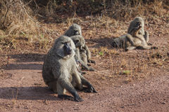 La multitud del babuino Fotos de archivo
