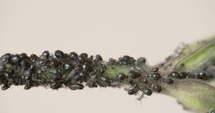 La multitud del pequeño áfido negro en una odisea CRUDA 7Q del tronco FS700 4K almacen de metraje de vídeo