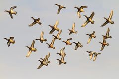 La multitud del vuelo ducks durante la migración de la primavera Imagenes de archivo