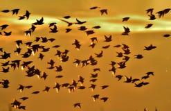 La multitud grande común del estornino (Sturnus vulgaris) de pájaros en el cielo forma un modelo abstracto Fotografía de archivo