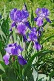 La multitude de l'iris de floraison fleurit dans le jardin Image libre de droits
