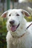 La museruola è cane bianco con una bocca aperta immagini stock libere da diritti