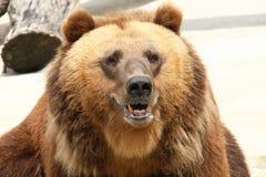 La museruola è grande orso Fotografia Stock