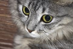 La museruola del gatto grigio con il primo piano degli occhi verdi Fotografia Stock