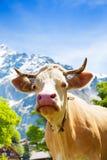 La museruola della bella mucca fotografia stock
