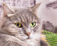 La museruola di un gatto grigio con gli occhi verdi si chiude su Fotografia Stock