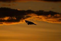 La mussolina ha affrontato l'avvoltoio Immagini Stock Libere da Diritti