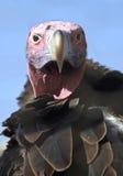 La mussolina ha affrontato l'avvoltoio Fotografie Stock Libere da Diritti