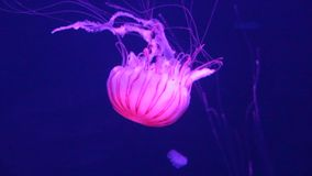 La nadada japonesa de la ortiga del mar de las medusas que nada la vida viva subacuática, también sabe como: ortiga septentrional metrajes