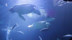 La nadada japonesa de la ortiga del mar de las medusas que nada la vida viva subacuática, también sabe como: ortiga septentrional almacen de metraje de vídeo