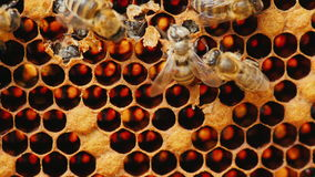 La naissance d'une nouvelle abeille, d'autres abeilles l'aident à sortir de la cellule Image stock