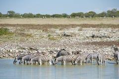 La Namibia, etosha NP della zebra im parcheggia Fotografia Stock