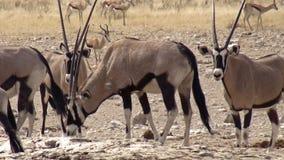 La Namibie, parc d'Etosha photo libre de droits