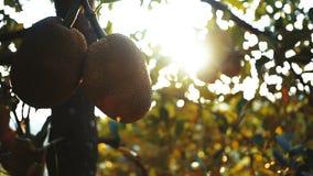 La nangka con giaca matura fruttifica appendendo sul ramo video d archivio