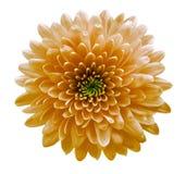La naranja florece el crisantemo Fondo aislado blanco con la trayectoria de recortes Primer ningunas sombras Para el dise?o fotos de archivo libres de regalías