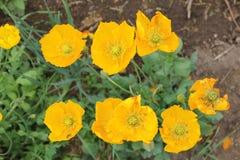 La naranja florece las amapolas que crecen en el jardín Fotografía de archivo libre de regalías
