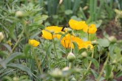 La naranja florece las amapolas que crecen en el jardín Imagen de archivo libre de regalías