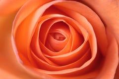 La naranja hermosa se levantó Imagenes de archivo