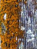 La naranja izquierda, blanco de la derecha coloreó el tronco de árbol del aislamiento Fotografía de archivo