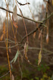 La naranja larga se va en ramas de la ejecución en luz triste de la tarde Imagen de archivo