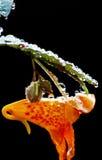 La naranja manchó resplandores de la mala hierba de la joya con rocío de la mañana fotografía de archivo