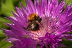 La naranja manosea la abeja en un botón rosado del soltero Imagen de archivo