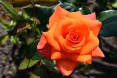 la naranja roja subió con los pétalos brillantes que crecían en el jardín foto de archivo libre de regalías