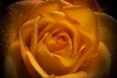 La naranja se levantó Imagen de archivo libre de regalías