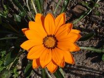 La naranja solitaria con marrón raya la flor del gazania con la abeja Foto de archivo