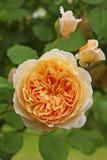 La naranja subió con los brotes en jardín Imagen de archivo