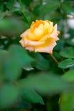 La naranja subió en los arbustos Imagen de archivo