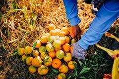 La naranja y las manos del jardinero anaranjado se hacen cada d imagenes de archivo