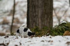 La nariz tricolora criada en línea pura de Jack Russell Terrier está siguiendo una pista en el invierno nevoso foto de archivo