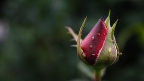 La nascita del cappuccio di fioritura rosso Fotografia Stock Libera da Diritti