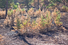La nascita di nuova vita nella foresta dopo un fuoco Fotografia Stock Libera da Diritti
