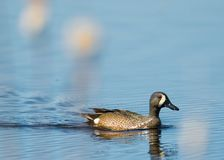 la natación Azul-coa alas del trullo en la charca del humedal con los cattails borrosos/recubre con caña en el primero plano - en fotografía de archivo