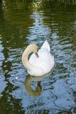 La natación blanca del cisne del color en la piscina en un jardín botánico y ella es un destino turístico popular Tailandia septe imagenes de archivo