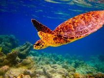 La natación de la tortuga de Hawksbill tiene gusto de volar imagen de archivo libre de regalías