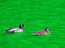 La natación de los pares del pato del pato silvestre en verde teñió el agua del canal Imágenes de archivo libres de regalías