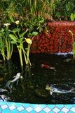 La natación de los pescados de Koi en un hombre hizo la charca Imagen de archivo libre de regalías