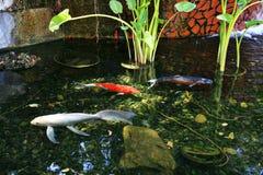 La natación de los pescados de Koi en un hombre hizo la charca Foto de archivo