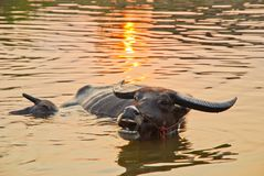 La natación del búfalo en el agua con ella es hijo imagen de archivo