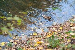 La natación del pato en agua con las hojas de otoño cerca de piedras imagen de archivo