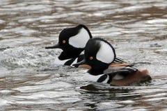 La natación masculina de los pollos de agua encapuchados es corriente rápida fotos de archivo libres de regalías