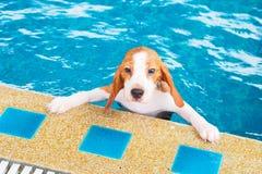 La natación y la tenencia lindas del beagle del perrito bordean la piscina Fotografía de archivo