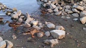 La natation de canard et les nourritures de conclusion s'approchent du lac Photo stock