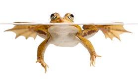 La natation verte de grenouille d'étang a isolé le temps de source Photo stock