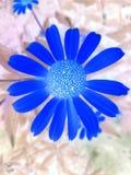 La natura blu del fiore effettua il verde Fotografie Stock