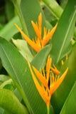 La natura dei fiori gialli di Heliconia fotografia stock